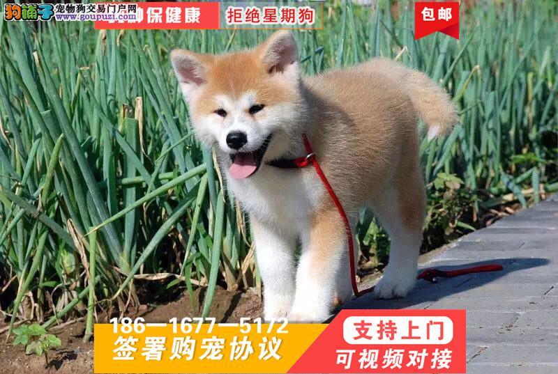 秋田犬绝对是忠犬八公的后代强壮的身体