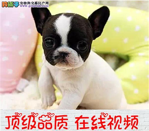 出售纯种赛级法国斗牛犬 保证品质健康