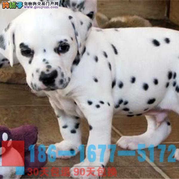 纯种专业 精品 宠物狗狗 斑点 大町犬出售