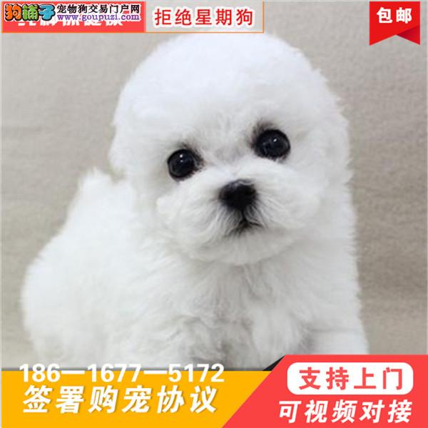 超级可爱 品相超好 大眼睛 甜美脸型 比熊幼犬.