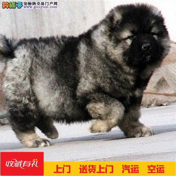 纯种高加索 猛犬高加索 幼犬 保证纯种健康
