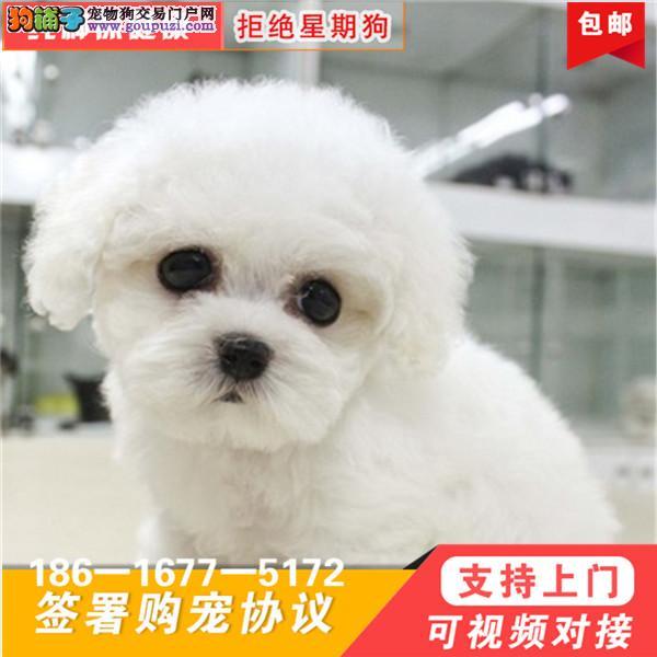 超级可爱 品相超好 大眼睛 甜美脸型 比熊幼犬