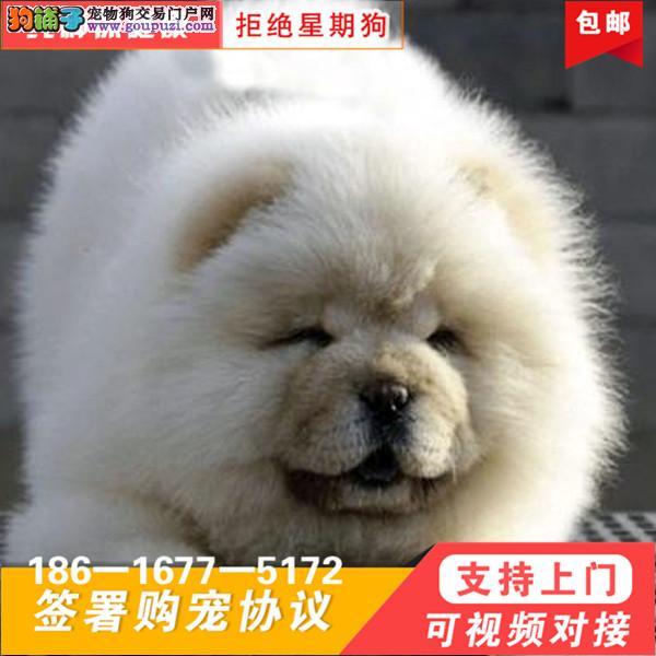 出售大头肉嘴紫舌头小眼睛黄白松狮 保健康