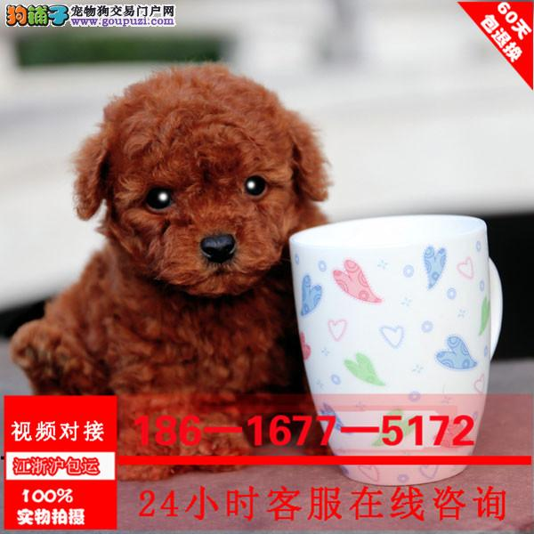 专业繁殖玩具泰迪熊 纯种血统 完美体型可爱