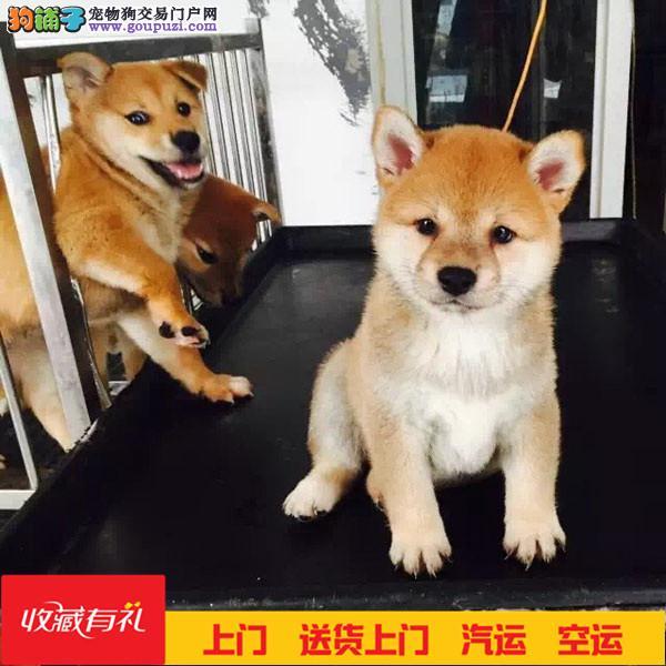 日本宠物狗 日系柴犬纯种幼犬出售