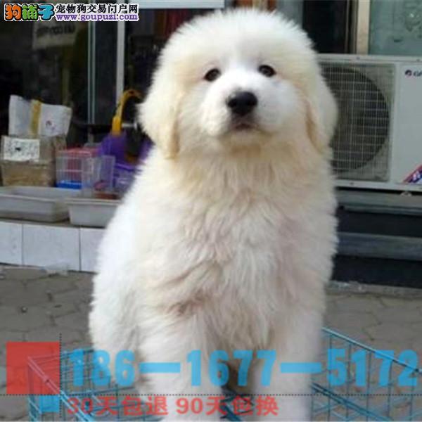 大白熊幼犬 品相血统纯正健康售后有保