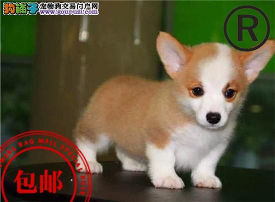 CKU认证犬舍 诚信经营 赛级品质 世界上最好的柯基犬