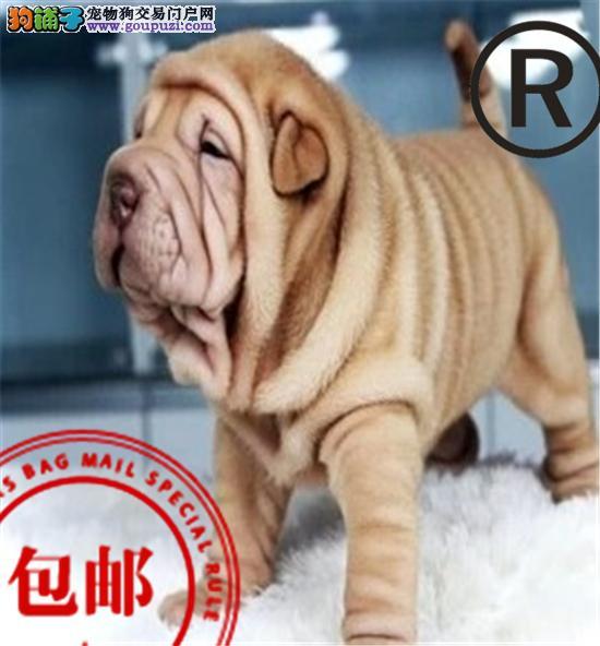 CKU认证犬舍 诚信经营 赛级品质 世界上最好的沙皮犬!
