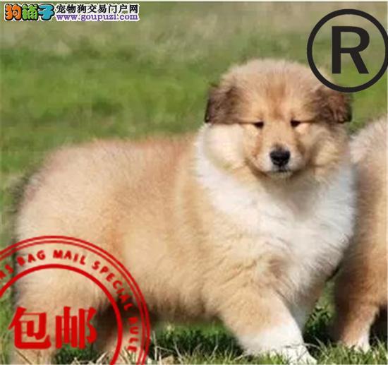 CKU认证犬舍 诚信经营 赛级品质 世界上最好的苏牧犬
