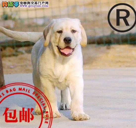 CKU认证犬舍诚信经营 赛级品质世界上最好的拉布拉多犬