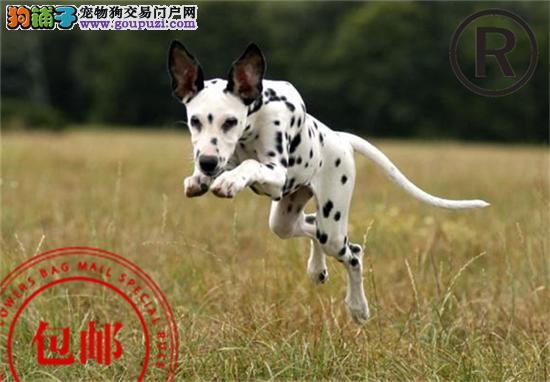 CKU认证犬舍直销精品斑点犬!包纯种,包健康!