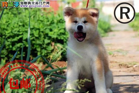 CKU认证犬舍 诚信经营 赛级品质 世界上最好的秋田犬