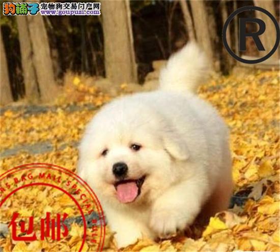 CKU认证犬舍直销精品大白熊!诚信经营 包纯种保健康!