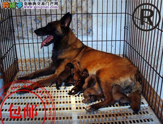 CKU认证犬舍 诚信经营 赛级品质 世界上最好的马犬!