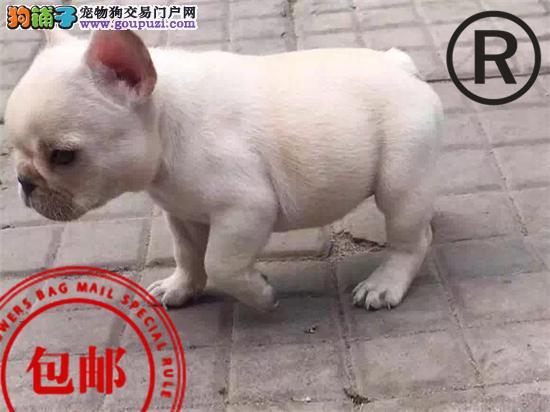 犬舍出售极品法斗!诚信经营,赛级品质 可送货上门!