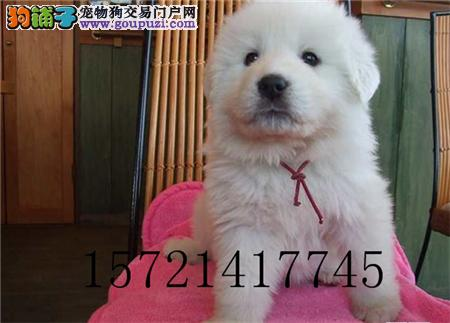 犬舍直销精品大白熊包纯种包健康