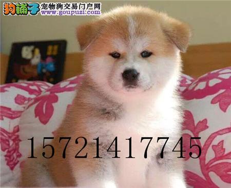 犬舍直销精品秋田包纯种包健康