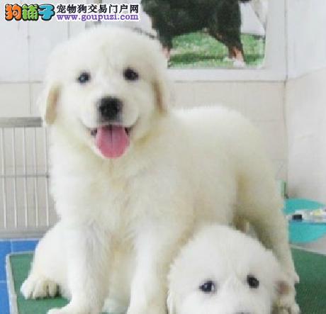 雪兽系赛级大白熊犬幼犬骨骼大毛质好极品幼犬待售