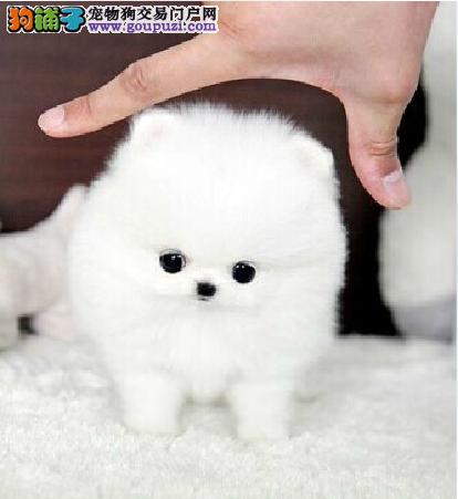 纯种犬繁殖基地长期出售纯种球体哈多利丽博美幼犬