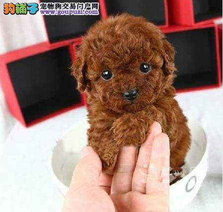 高品质小体泰迪幼犬,签协议包活包健康.多颜色可选