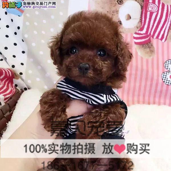 灰色茶杯泰迪 韩版泰迪犬 灰色泰迪到哪买