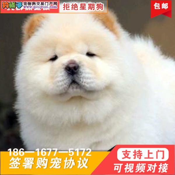 高品质松狮幼犬毛量爆好纯种肉嘴松狮幼犬