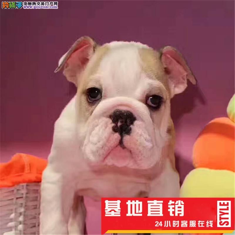 纯种英国斗牛犬幼犬保证品质健康 颜色齐全