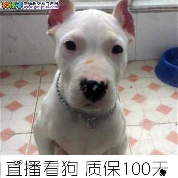 杜高犬阿根廷纯种杜高犬出售杜高幼犬2个多月