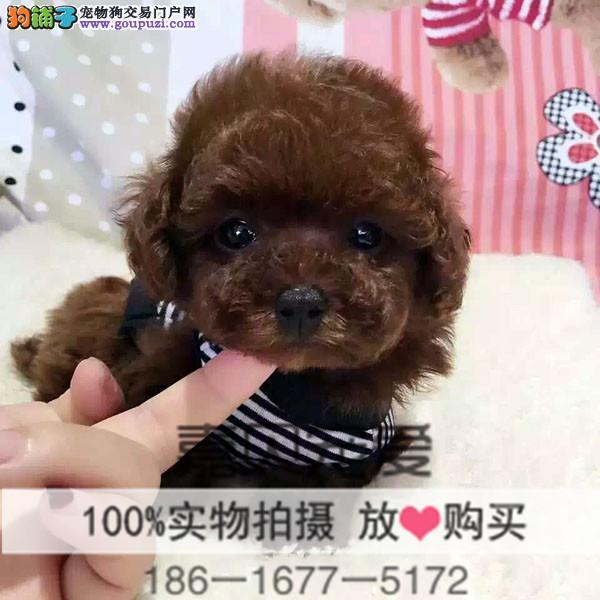 纯种赛级茶杯泰迪犬 泰迪幼犬出售玩具泰迪带证