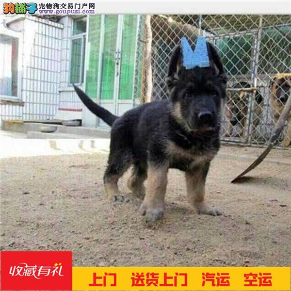 纯种德系德国牧羊犬幼犬多只待售品相好身体健壮