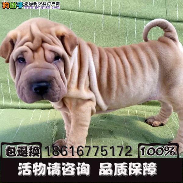 可爱的沙皮幼犬皱脸沙皮适应能力强血统纯正
