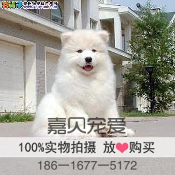 微笑天使高品质澳版萨摩耶犬专业繁殖养殖基地