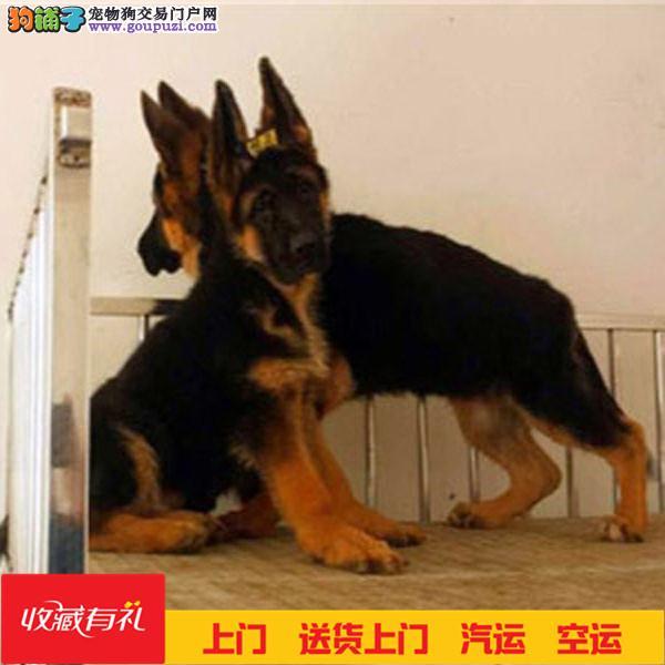 出售纯种德国牧羊犬 签协议保健康 先体检