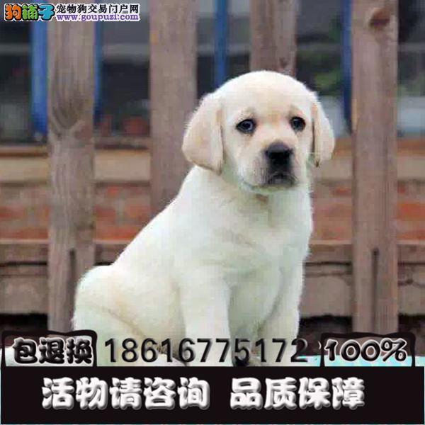 忠厚老实的小拉布拉多导盲犬幼犬是很老实