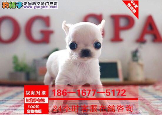 外出可以装在口袋中的宠物狗吉娃娃宝宝出售