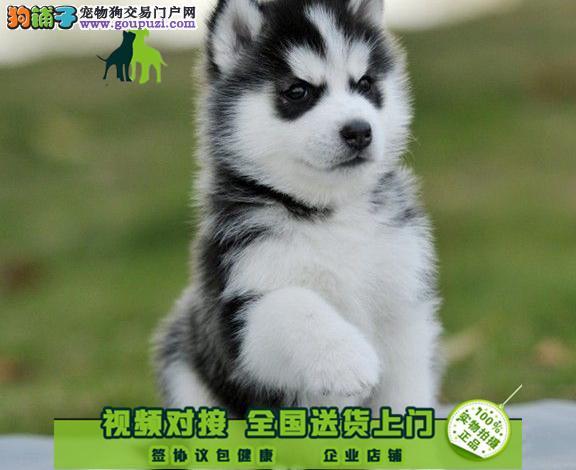 哈士奇赛级犬证书芯片齐全可以签订协议