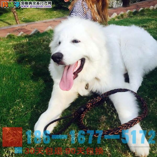 纯种大白熊幼犬是很迷人小狗很活泼