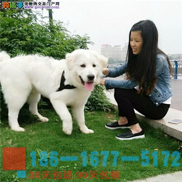 买大白熊幼犬纯种犬纯种健康均可办理证书