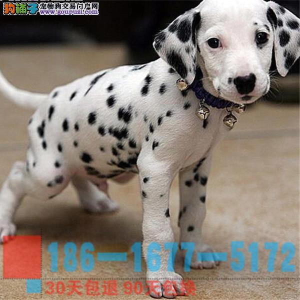 精品斑点幼犬CKu认证血统质量三包完美售后
