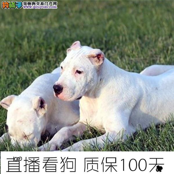 高品质杜高幼犬待售中保纯保健康带证书芯片