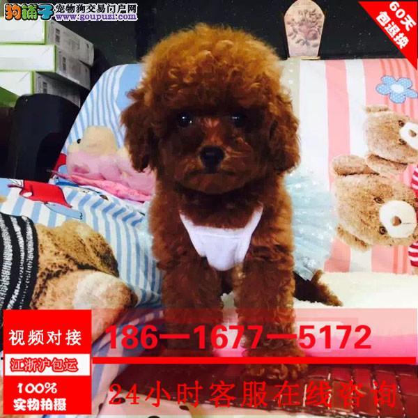 纯种泰迪价格合理买狗签协议包纯度健康