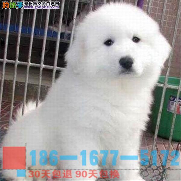 纯种大白熊幼犬是很迷人 小狗很活泼 也很乖