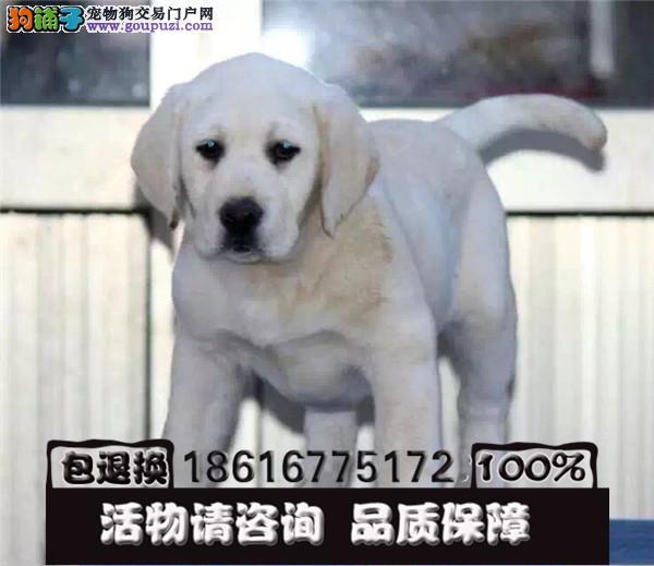 忠厚老实的小拉布拉多导盲犬幼犬是很老实2