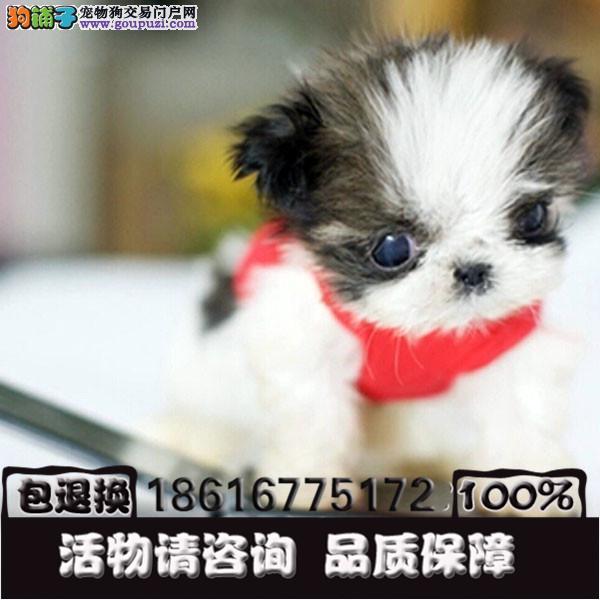 漂亮的狗狗 小型伴侣犬适合居家的西施小狗8