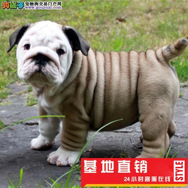 纯种英国斗牛犬幼犬保证品质健康颜色齐全