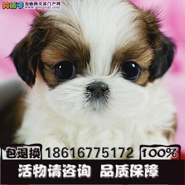 出售西施犬幼犬纯种健康有保障签订质保协议