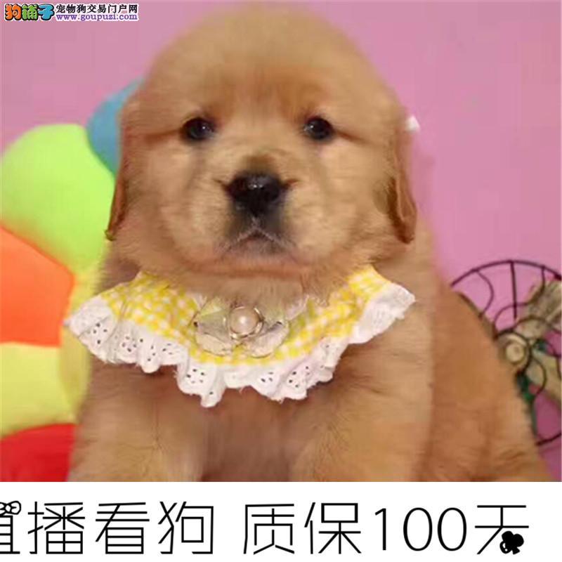大头美系金毛幼犬可以送货到家挑选正规狗场