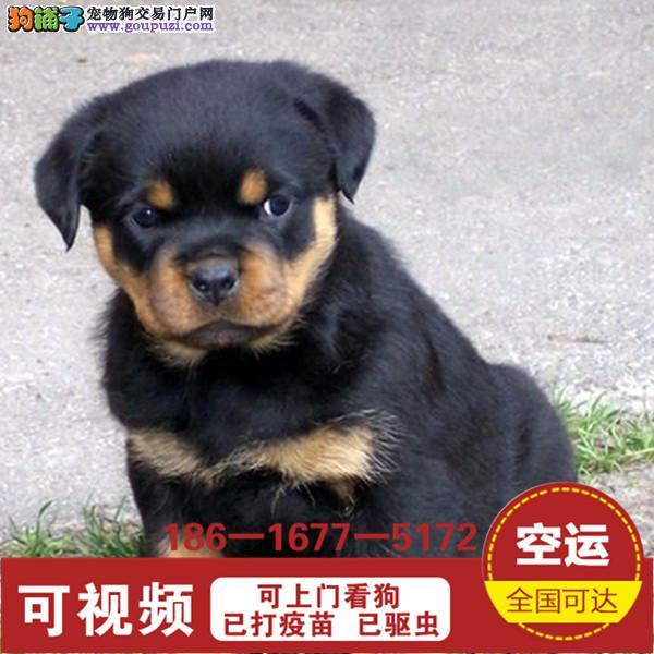 德系罗威纳幼犬高大威猛四肢粗壮 疫苗已做