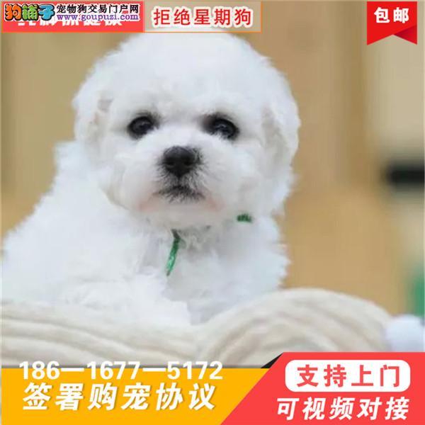 韩国引进大眼睛甜美脸型比熊幼犬送狗上门