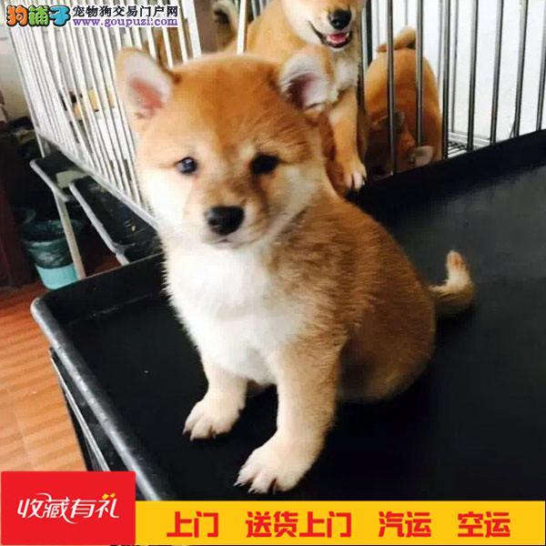 个性机敏 独立身体强健的幼柴犬多窝销售